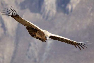 Peru's Andean Condors