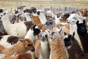 South American Llamas