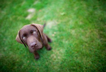 LON – Labrador Retriever