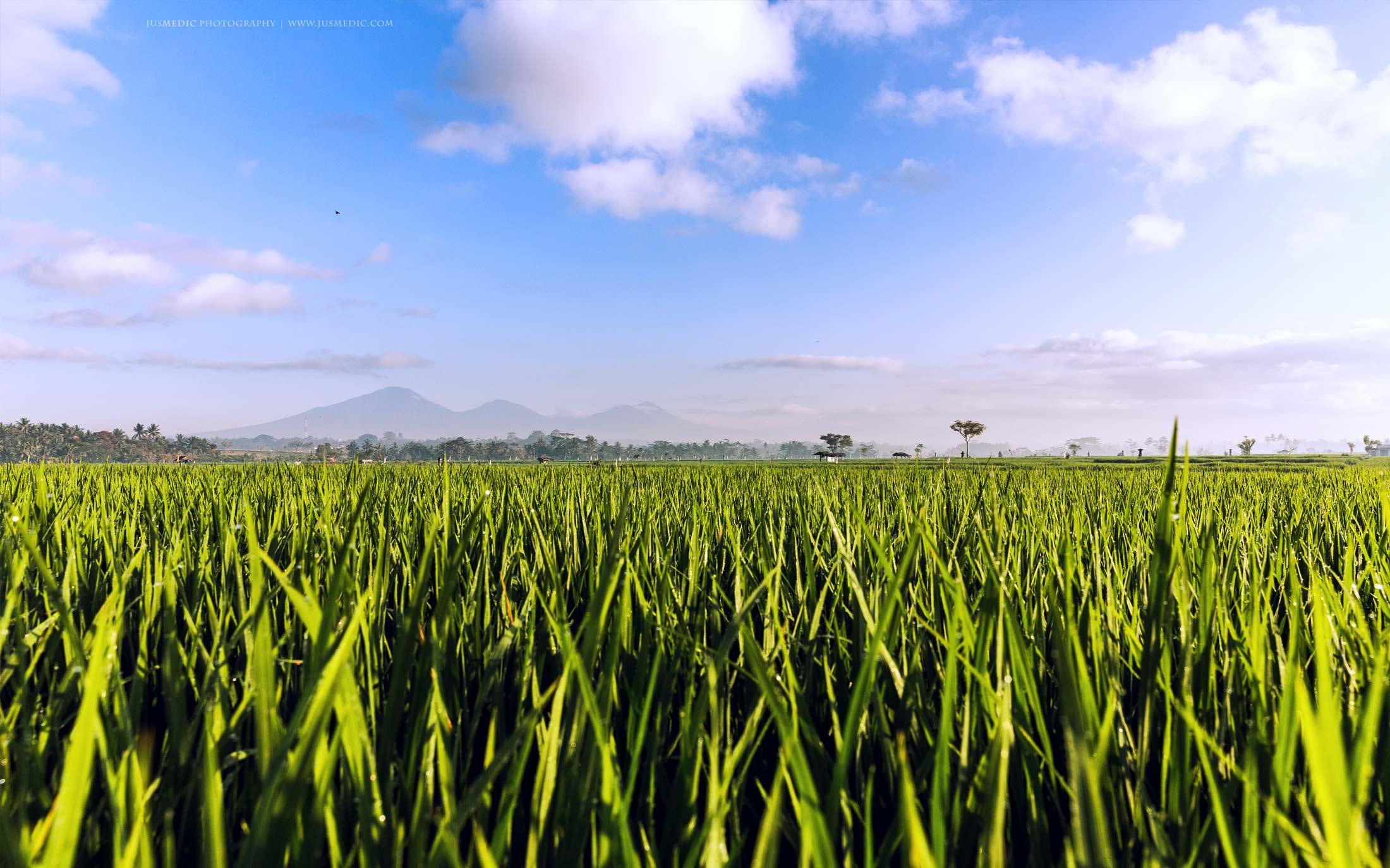 10-15-October-BALI-Ricefields-jusmedic.com-2200px