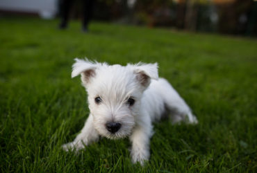 Westie – Little monsters – 7 weeks