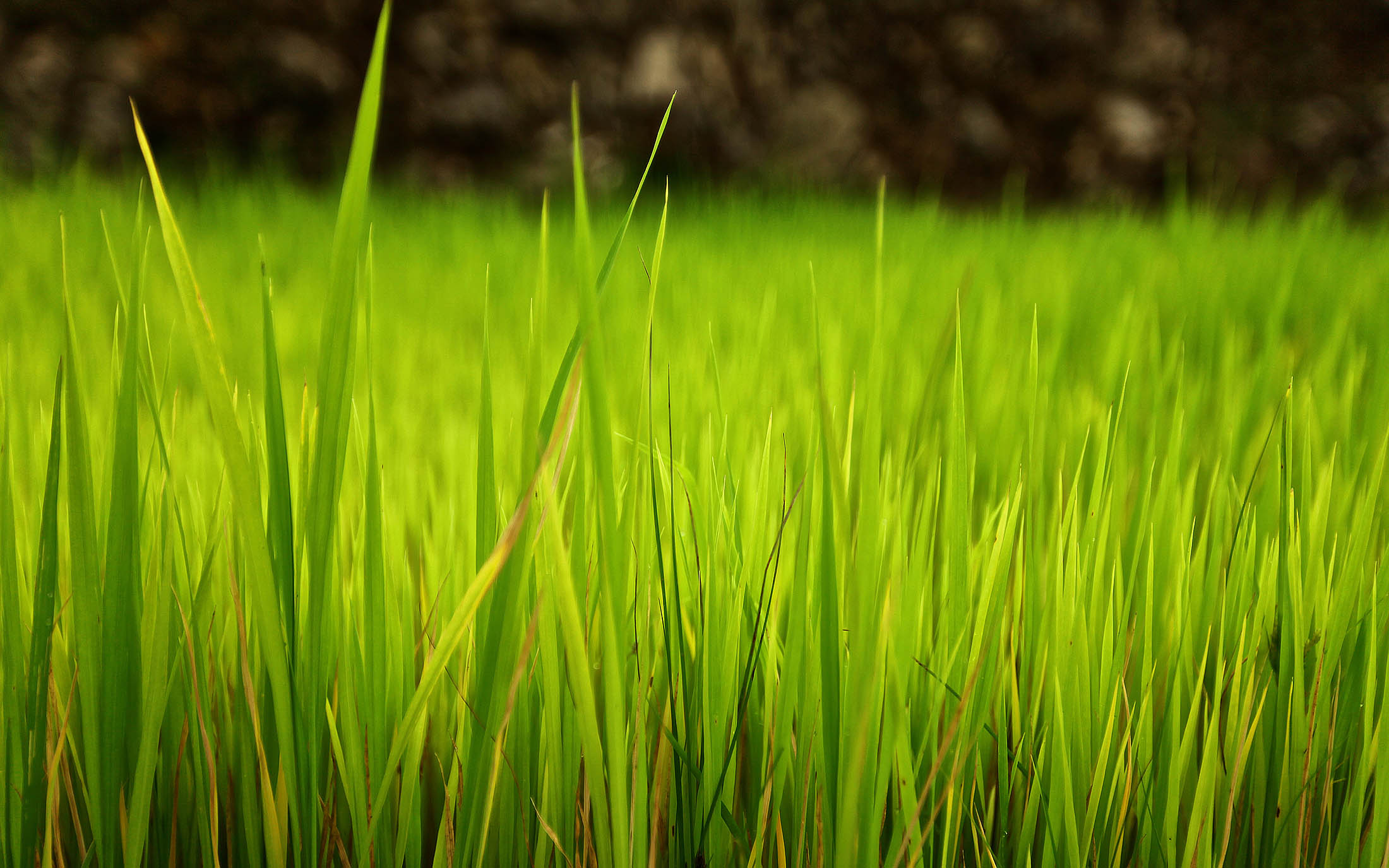 Rice fields in Philippines